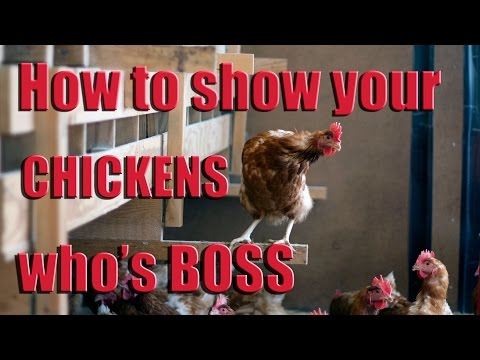 How to Show Your Chickens Who's Boss