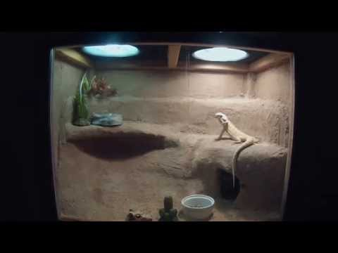 Bearded Dragon Bathing and Cleaning his cage
