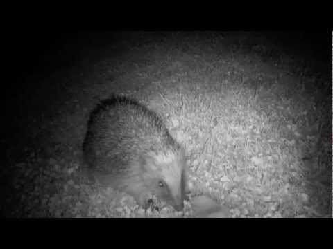 Hedgehogs in my hedge at mid-night.
