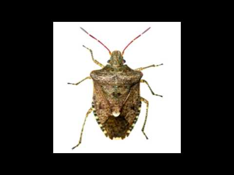 Natural Stink Bug Repellents That are Wonderfully Effective
