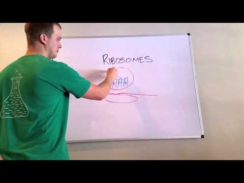 Ribosome Overview and Mnemonic