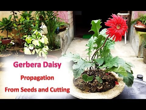 How to Propagate Gerbera Daisy (Gerbera Jamesonii) from Seeds and cutting / Division