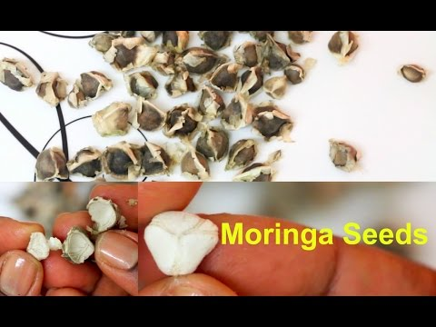 Moringa Seeds Health Benefits   How to Eat Moringa Oleifera Seeds