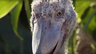 Shoebill Chick Reveals Darkside    Africa   BBC