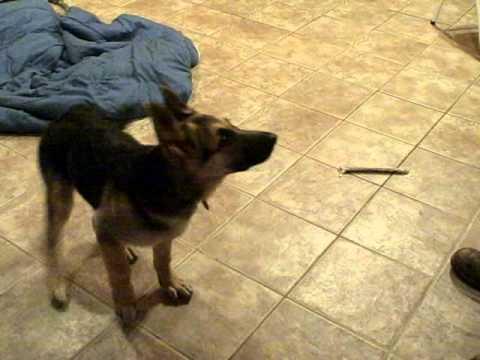 3-month (13-week) old German Shepherd puppy performs tricks