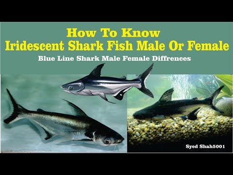 Iridescent shark fish male female differences know easily your shark gender Hindi Urdu English sub