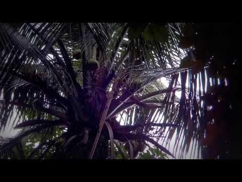 Raw Food *Fresh Coconut Water JAMAICA