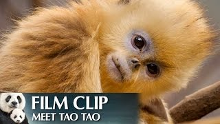 """Meet Tao Tao"" Clip - Disneynature"