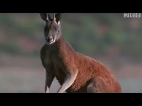 All About Kangaroos!