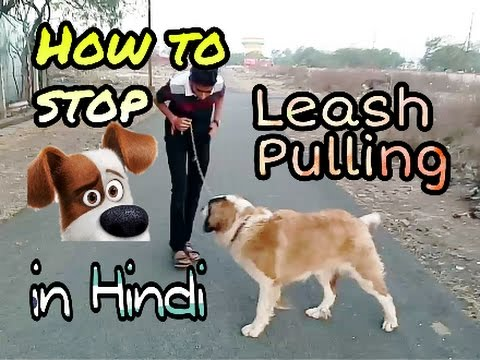 How to train dog to stop leash pulling in hindi | Dog training in hindi |