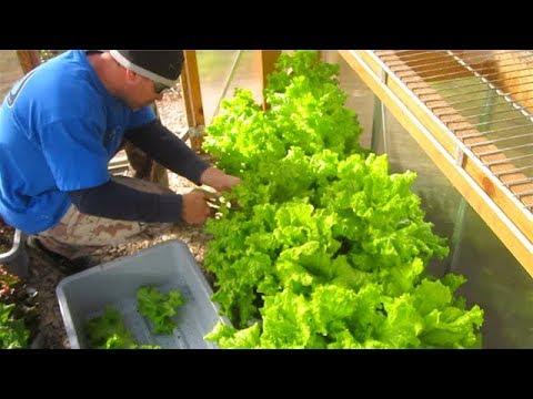 Container Garden December HARVEST Update RAIN Barrels winter cleanup Lettuce Kale Collards