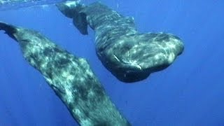 Sperm Whales of Dominica   JONATHAN BIRD