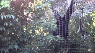 Auckland zoo - Funny Siamang Gibbon hooting