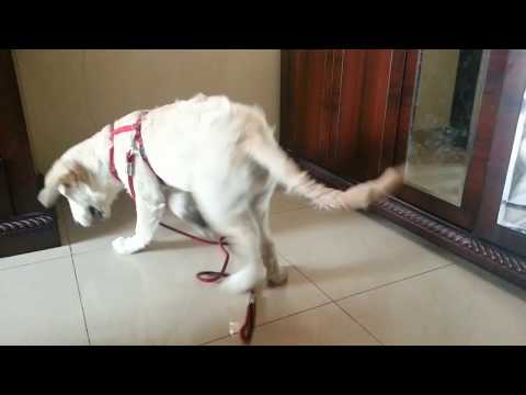 Why do dogs chase their tail? - Reasons and Solutions