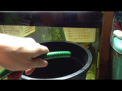 How to Do a Water Change Without a Fish Tank Siphon - Turkey Baster!