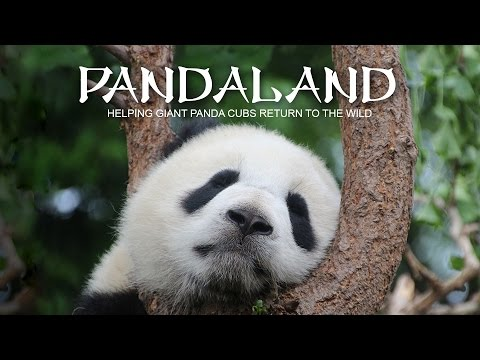Pandaland. Helping giant panda cubs return to the wild