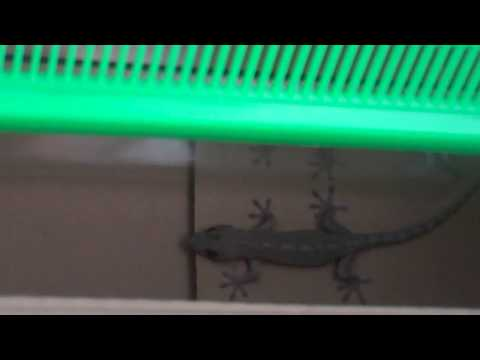 Gecko in our House-Capture 3