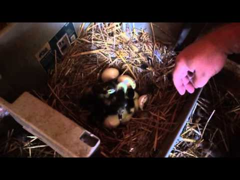 The Duck Chronicles Adjunct Eight - New Babies and the Poop Defense