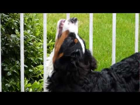 Singing Bernese Mountain Dog!!!  The Most Adorable Puppy!!!