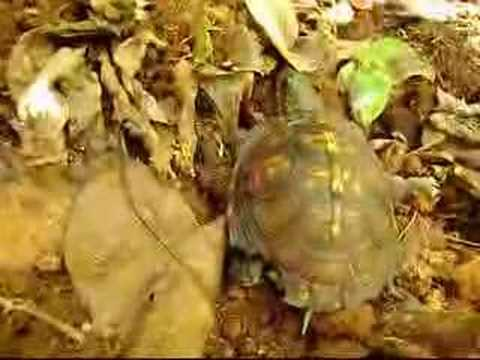 Wild Adventures with Steve: box turtle gets a new home