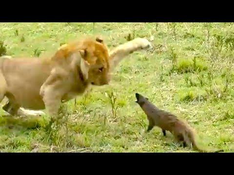 Ozzy Man Reviews: Mongoose vs Lions
