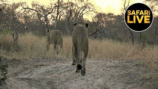 safariLIVE - Sunrise Safari - August 17, 2019
