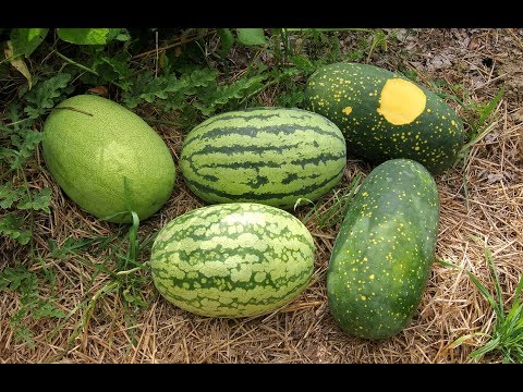 Big Heirloom Watermelon Harvest From The Garden And A Taste Test
