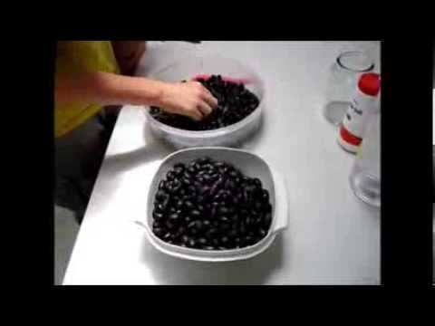 Harvesting And Processing Wild Olives In Australia