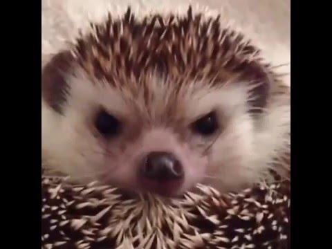 grumpy go happy hedgehog