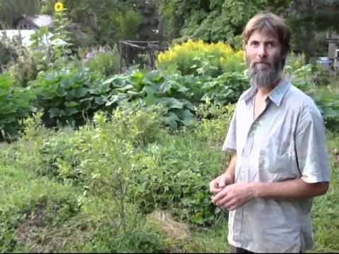 Zero Blight/Mildew on squash w/ Horsetail/Equisetum