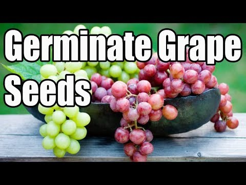 How To Germinate Grape Seeds At Home