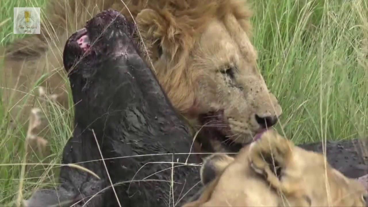 Lion Pride catch and kill buffalo during Live Safari