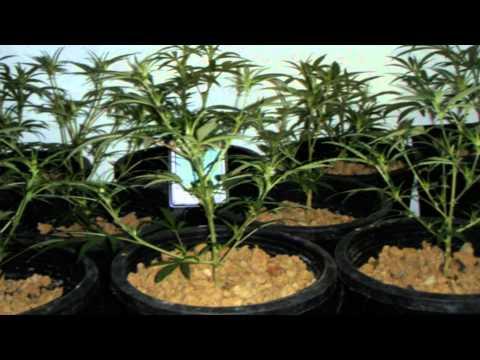 medical marijuana grow  / www.limbo-co.com