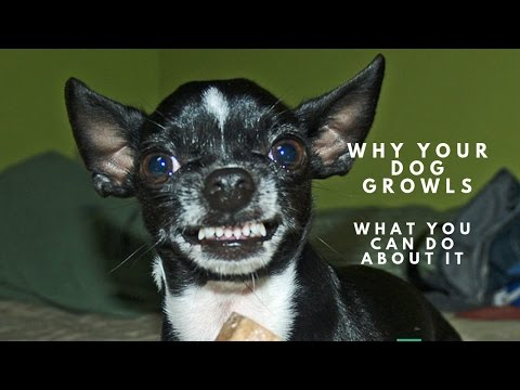 Why Your Dog Growls and What You Can Do About It