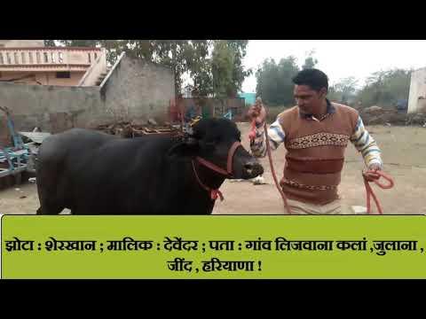 Pure Murrah Male Calf 15 months