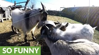 Goat bangs horns on feed bucket to startle other goats