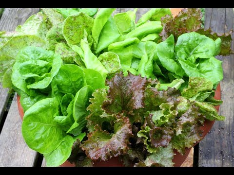 Tips For Growing Lettuce In Containers-For Beginners-Gardening Basics