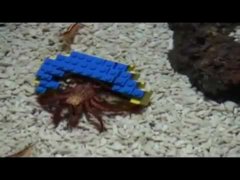 Harry the hermit crab comes out in his Lego shell video Life and style guardian.co.uk.flv
