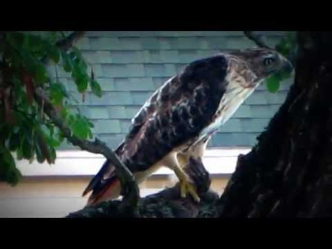 red tail hawk outside my apartment eating a pigeon