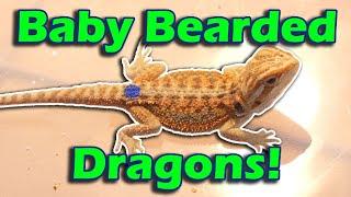 Touring a Bearded Dragon Breeder Facility!
