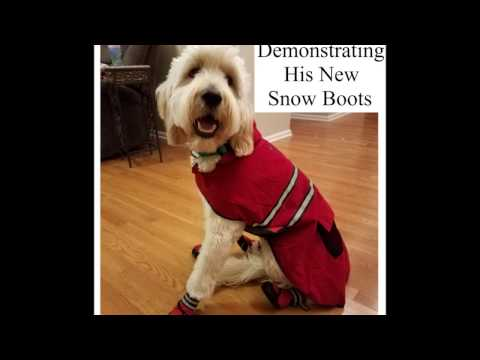 Goldendoodle Puppy Service Dog Wearing Boots for the First Time - Funny!