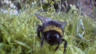 Clever queen bumble bees | Life in the Undergrowth | BBC