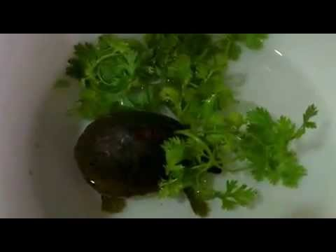 Baby Tortoise eating parsley.......