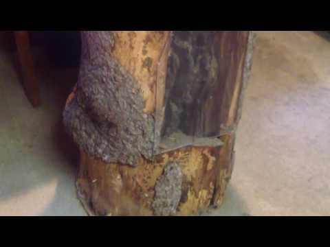 Honey Bee Hive Inside a Hollow Tree Stump
