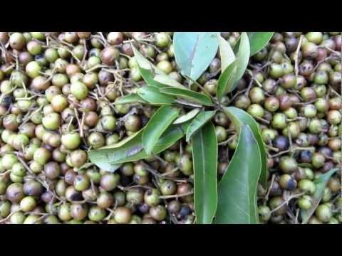 Vitex parviflora, Antidesma ghaesembilla, and Dillenia philippinensis