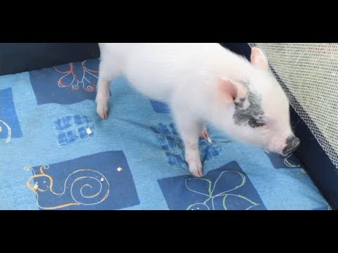 What Is a Teacup Pig? | Small Pets