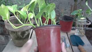 Money Plant Maintenance How To Make Your Money Grow Fast Summer Care