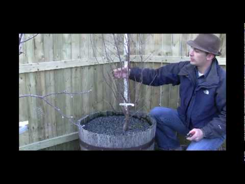 How to Prune Bush Cherry Tree Plants in Early Spring - Gurney's Video