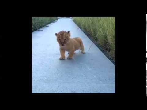 LITTLE LION ROARS !!!
