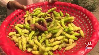 Mulberries ready in Multan garden | 20 April 2019 | 92NewsHD